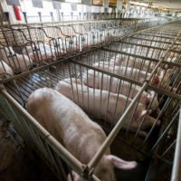 Factory Farming: Quit Stalling